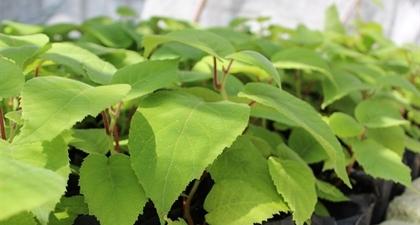 Произведени растения от актинидия (киви)