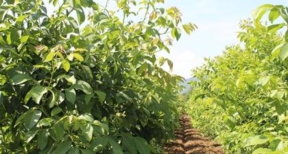 Орехова маточна градина